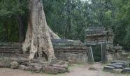 Tree, wall, angkor Wat